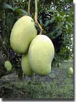 Mme Francique mangos are Hait's leading export crop